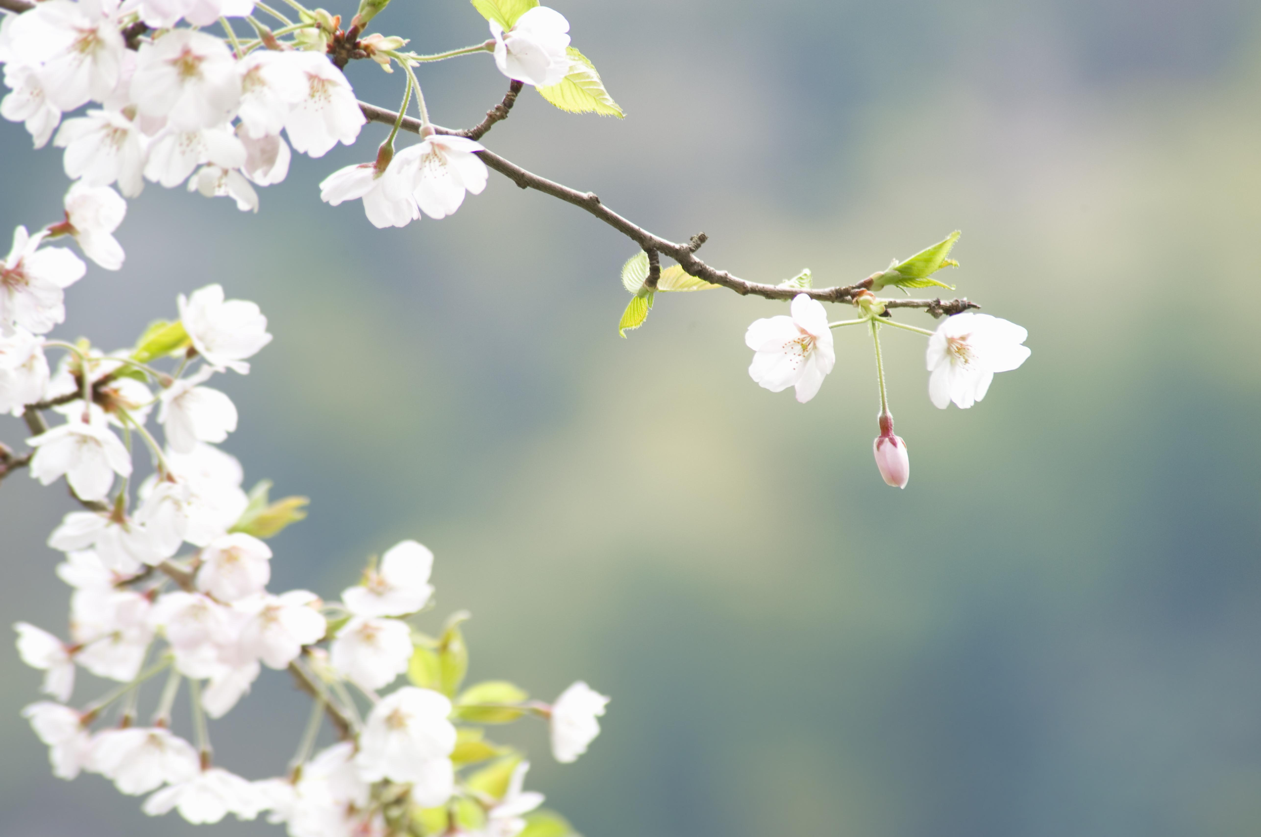 Cherry blossoms on branch
