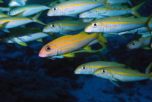 School of yellowfin goatfish, close-up (Digitally Enhanced)