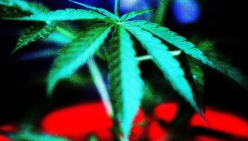 A marijuana leaf. 28 June 1998. AFR GENERIC Picture by ROB HOMER.