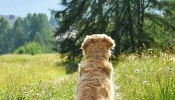 Purebred female golden retriever PoV looking at an Alpine landscape in South Tyrol, Italy