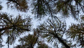 Larch Woodland on the Black Isle Peninsula, west of Cromarty, Ross and Cromarty, Scottish Highlands, Scotland, UK
